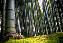 nature, trees, bamboo, forest wallpaper