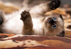 siamese kitten, baby cat, cat, kitten, cute, eyes, siamese, animals wallpaper