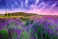 sky, nature, flowers, lavender, lavandula wallpaper