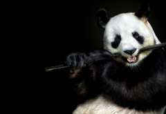 musician, panda bear, panda, flute, animals wallpaper