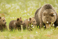bear, bear cubs, meadow, brown bears, grass, animals wallpaper