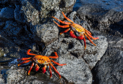 crab, shell, stone, claws, rocks, animals wallpaper
