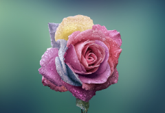 rose, bud, close-up, flowers, dew wallpaper