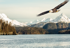 bald eagle, alaska, gulf, sea, mountains, bird, animals, nature wallpaper