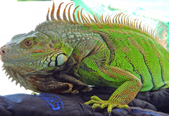 mexico iguana, reptile, iguana, animals wallpaper