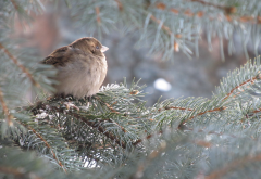 sparrow, spruce, tree, bird, animals wallpaper