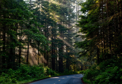 forest, tree, sunlight, nature, scenic road, nature wallpaper