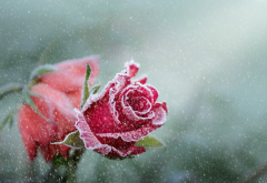 flowers, rose, frost, bud, snow, winter, nature wallpaper