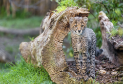 cheetah, grass, driftwood, kitten, cub, tambako the jaguar, animals wallpaper