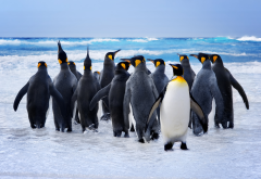penguins, birds, water, swimming, sea, waves, animals wallpaper