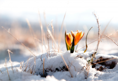 snow, crocus, flowers, nature, spring wallpaper
