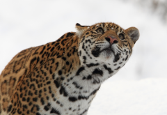 jaguar, look up, muzzle, animals, predator, winter, wild cat wallpaper