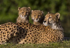 cheetahs, animals, family, wild cats wallpaper