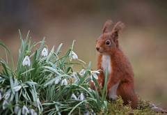 squirrel, snowdrops, animals, flowers, spring wallpaper