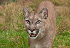 cougar, predator, wild cat, animals wallpaper