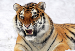 tiger, teeth, animals, wild cat wallpaper