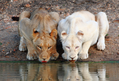 lion, lioness, watering, animals, wild cats wallpaper