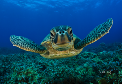 kemps ridley sea turtle, underwater, sea turtle, turtle, animals, atlantic ridley sea turtle wallpaper