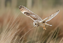 bird, flight, owl, animals wallpaper