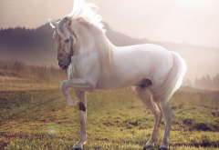 horse, white stallion, animals, white horse wallpaper