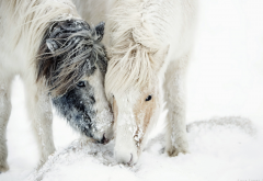 nature, snow, pony, horse, animals, winter wallpaper