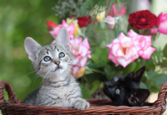 kitten, cars, animals, flowers, roses wallpaper