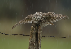 fence, owl, rain, drops, bird, animals wallpaper