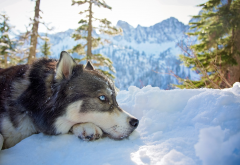 husky, dog, winter, mountains, snow, animals, nature wallpaper