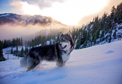 husky, dog, forest, nature, fog, winter, mountains, snow, animals wallpaper