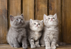kittens, trinity, cats, animals wallpaper