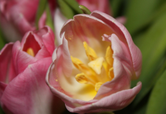 tulips, macro, flowers, spring, petals, nature wallpaper