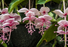 medinilla, flowers, tropics, nature wallpaper