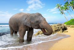 elephant, beach, sea, sand, palm tree, bathing, animals wallpaper