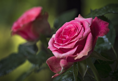 macro, flowers, roses, drops, water, nature, petals wallpaper