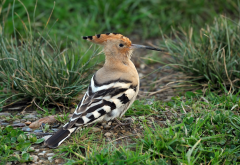 hoopoe, bird, animals, grass wallpaper