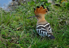 hoopoe, beak, bird, grass, animals wallpaper