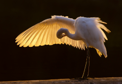 great egret, bird, animals, wings, great white heron, heron wallpaper