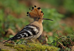 hoopoe, bird, animals, beak, feathers wallpaper