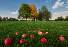 nature, grass, tree, fruit, apples, food wallpaper