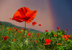 summer, field, flowers, poppies, sky, rainbow, nature wallpaper