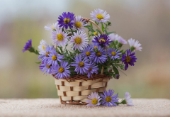 basket, flowers, aster alpinus, alpine aster wallpaper