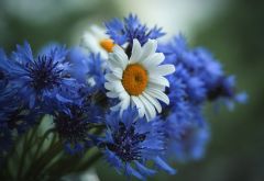 summer, flowers, nature, cornflower, chamomile wallpaper
