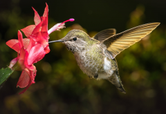bird, flowers, cactus, macro, bokeh, hummingbird wallpaper