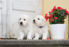 puppy, puppies, retriever, pot, flowers, begonia, animals, dog wallpaper