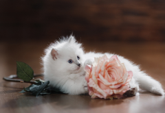 kitten, animals, cat, rose, flowers wallpaper