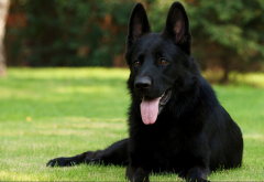 dog, animals, grass, black german shepherd, german shepherd, shepherd wallpaper