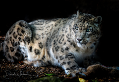 snow leopard, animals, wild cat wallpaper