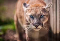 puma, animals, wild cat wallpaper