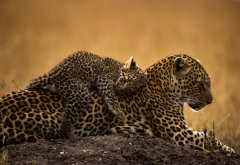 animals, predators, leopard, cub, tenderness wallpaper
