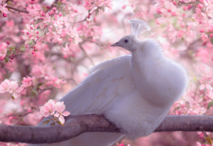 birds, peacock, nature, spring, tree, apple, branche, blossom, flowers, animals wallpaper